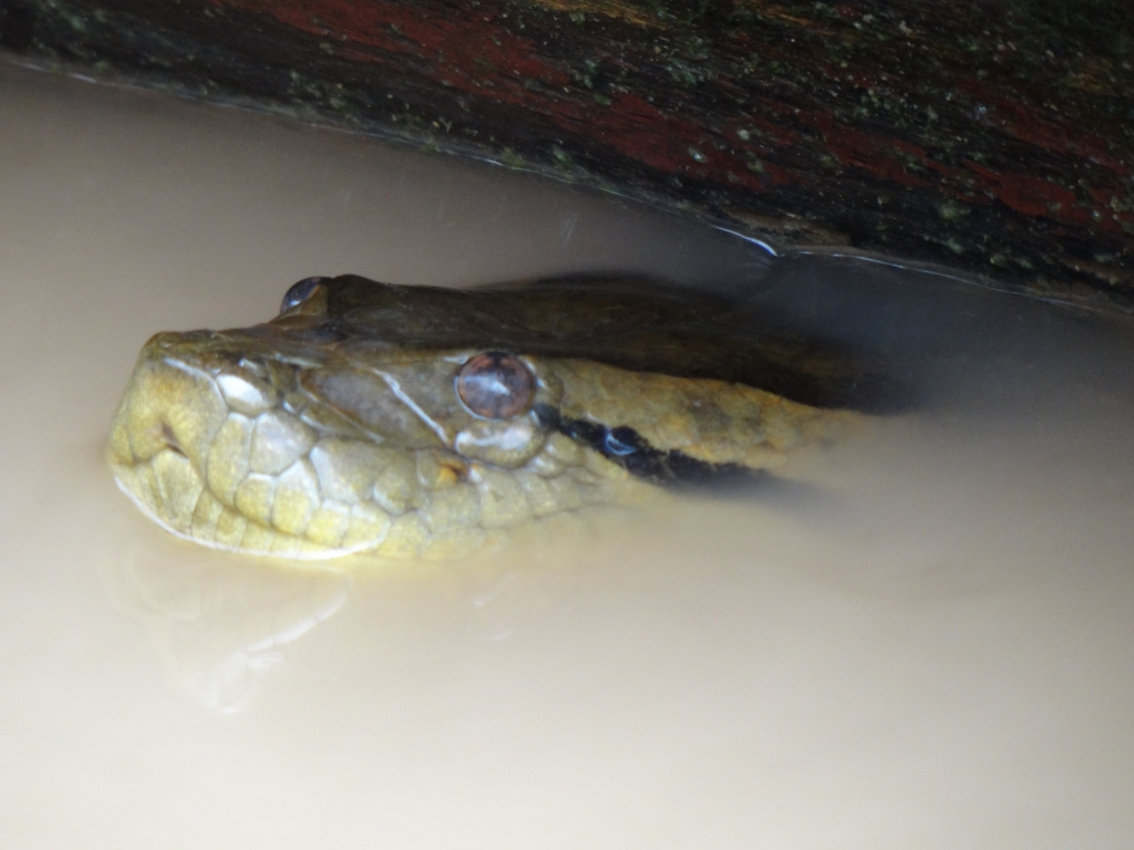 August/2013 field-trip - Anaconda trapped under the boat, Purus River